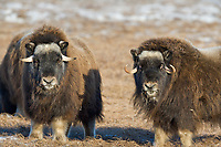 Musk Ox on Alaska's snowy Arctic Coastal Plain