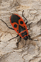 Gemeine Feuerwanze, Feuer-Wanze, Pyrrhocoris apterus, firebug