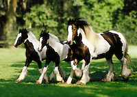 Gypsy Vanner Horse mare and foals.