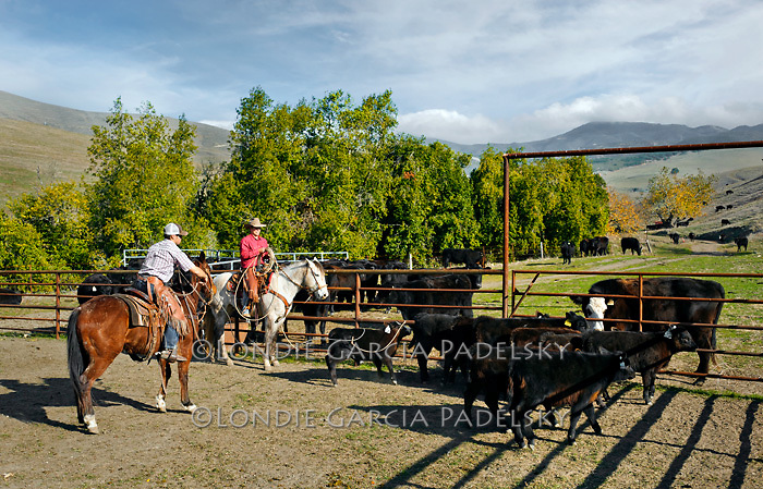 Cattle roundup at the Escuela Ranch, San Luis Obispo, California