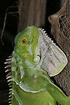 Iguana, Florida Keys