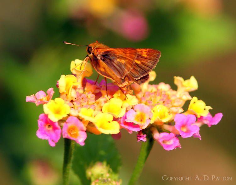 Southern broken-dash skipper on lantana