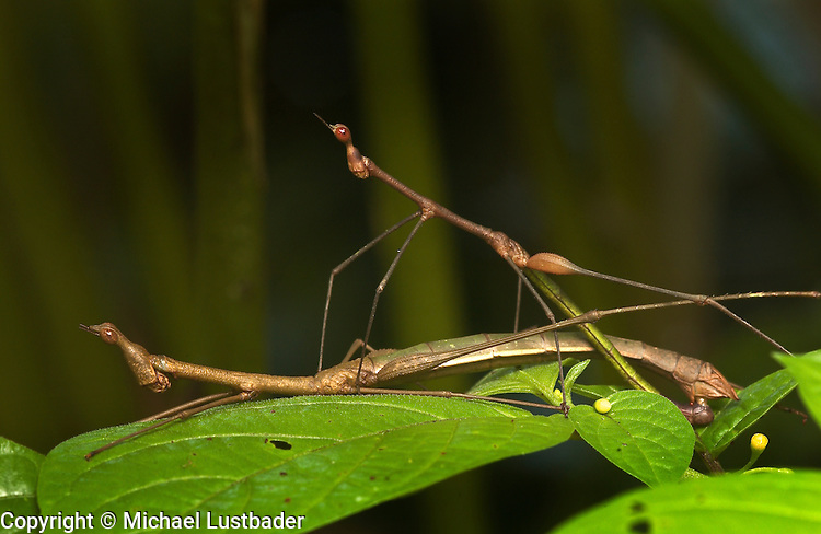 Jumping Stick Grasshoppers (Apioscelis bulbosa) mating, Peruvian Amazon