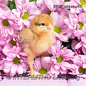 Xavier, EASTER, OSTERN, PASCUA, photos+++++,SPCHCHICKS48,#e#, EVERYDAY ,chicken