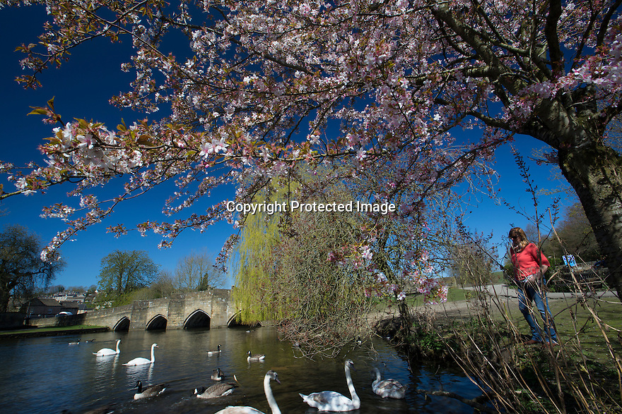 20/04/16 <br /> <br /> Framed by cherry blossom, swans soak up the spring sunshine on the river Wye in Bakewell, in the Derbyshire Peak District.<br /> <br /> <br /> All Rights Reserved: F Stop Press Ltd. +44(0)1335 418365   +44 (0)7765 242650 www.fstoppress.com
