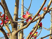 Pink Palash flowers on leaf-less branches against the blue sky.