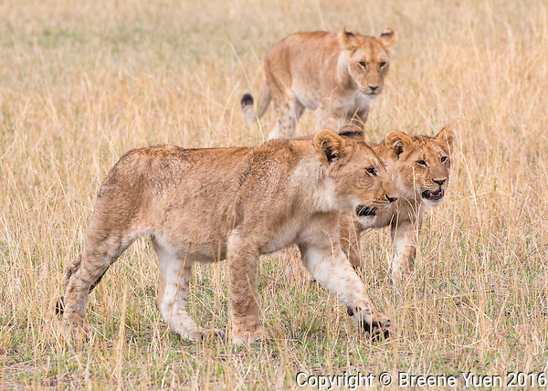 Three Lions Walking  Kenya 2015