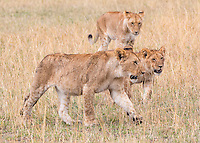 Three Lions Walking  Kenya 2015