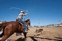 Cowgirl competing in breakaway roping competition at Mareeba Rodeo.  Breakaway roping involves the competitor on horseback lassoing a calf around its neck in the quickest possible time.  Mareeba, Queensland, Australia