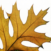 FALL FOLIAGE: LEAF VEINS.White Oak Leaf<br /> In the autumn, trees stop photosynthesis. As the green chlorophyll disappears from the leaves, yellow, orange and red become visible.