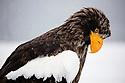 Japan, Hokkaido, Steller's sea eagle, portrait