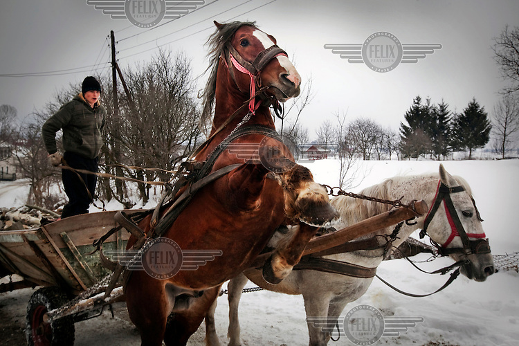A horse rears up when trying to pull a heavily loaded cart along an snow covered road.