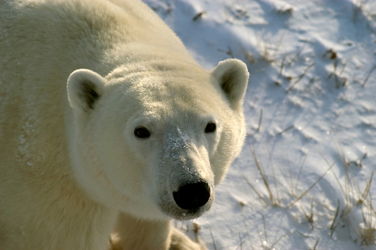 Photo: 20166..Canadas polar bear country around Churchill, Manitoba, at Gordon Point and nearby at Cape Churchill in Wapusk National Park on the south edge of Hudson Bay.  Photos of polar bears males, females, and cubs.  Fauna includes polar bears, arctic hares, and arctic foxes.  Landscapes of the tundra terrain and ice forming on Hudson Bay, plus sunrises and sunsets.  Polar bear viewing in Tundra Buggies while staying at the Tundra Buggy Lodge, operated by Frontiers North.  Photo copyright Lee Foster, 510-549-2202, lee@fostertravel.com, www.fostertravel.com.