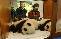 PANDA COMPLEX: CHENGDU: CHINA.Chinese tourists peer into a specially designed incubator that allows the public to watch the growth of this years baby pandas.  The specially designed Panda Breeding Complex is a world's first.  The complex has facilities for upto 12 mothers, a nursery, a breeding rooman artificial insemination facility and quarters for  staff. .Photo by Richard Jones/SINOPIX.©sinopix