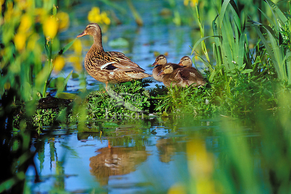 BD675  Mallard duck family--hen with ducklings--resting on old log among yellow iris in Pacific NW pond.  June.