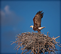 Bald Eagle landing in nest with wings aloft