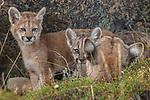Puma or South American cougar (Puma concolor concolor) , Patagonia, Chile