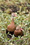 Brazoria County, Damon, Texas; a mating pair of Black-bellied Whistling Ducks standing in the shallow water of the slough, surrounded by water plants, in afternoon sunlight