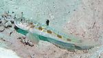 Oxyurichthys stigmalophius, Spotfin goby, Roatan
