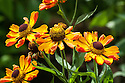 Helenium 'Rauchtopas', mid August. A hardy perennial with yellow flowers flushed red-orange and with twisted petals from August to October.