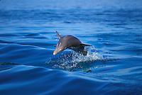 Wild Atlantic Bottlenose Dolphin leaping in boat wake, Florida Keys