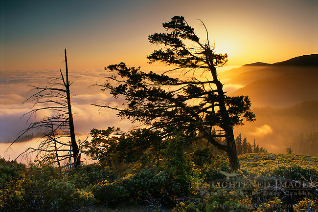 Tree and fog bank at sunset along the King Range, Lost Coast, near Shelter Cove, Humboldt County, CALIFORNIA
