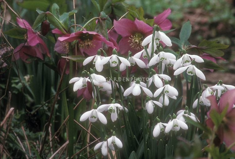 Helleborus - pink seedling hellebore + Galanthus nivalis snowdrops bulbs in winter bloom