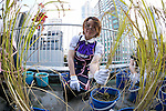 An Akihabara maid collects the crops on the roof of the Japan Agricultural Newspaper building in Akihabara district on November 19, 2015, Tokyo, Japan. Every year maids and volunteers from local cafes and stores plant and harvest the crops as a part of the ''Akihabra Vegetable Garden Project'' created by an environmental NPO group Licolita. This year 5 maids from local stores collected rice, rosemary, peppermint, spearmint, and lemon balm. (Photo by Rodrigo Reyes Marin/AFLO)