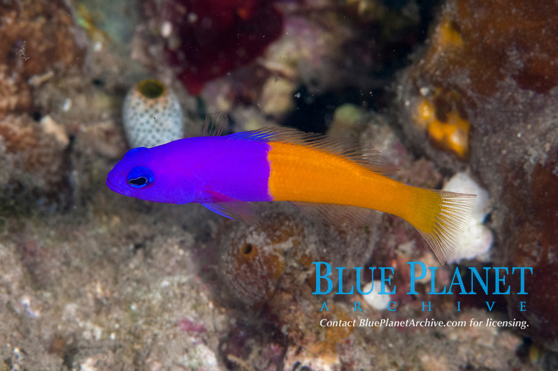 Royal Dottyback, Pseudochromis paccagnellae, Cardinal Point dive site, Lembata Island, East Flores, Indonesia, Pacific Ocean