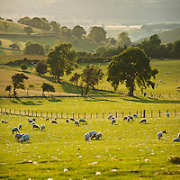 Flock of sheep in pasture, Hay Bluff, near Hay-on-Wye, Wales