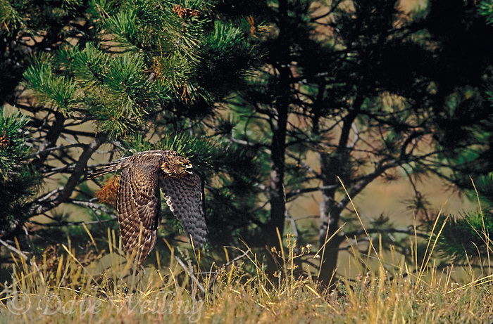537410003 A captive, falconer's bird, a young northern goshawk, accipiter gentilis, in flight over grasslands in central Colorado.
