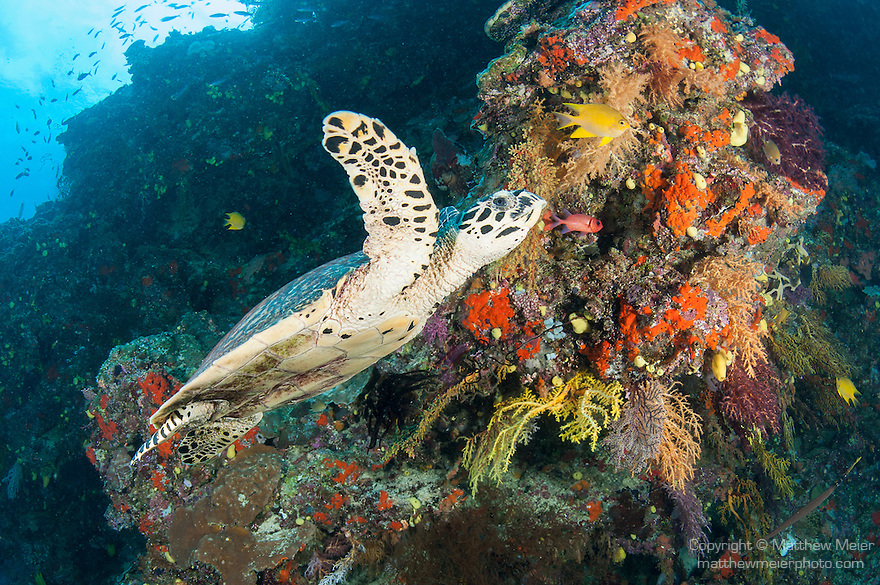 Bligh Waters, Vatu I Ra Passage, Fiji; a Hawksbill Sea Turtle swimming past colorful soft corals growing on a rocky wall, with the sun visible overhead
