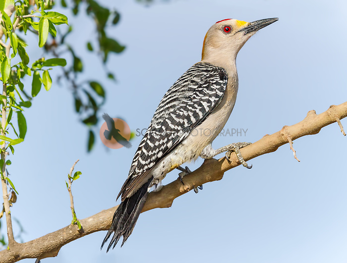 Male Golden-Fronted Woodpecker perched on tree limb