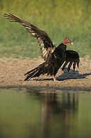Turkey Vulture, Cathartes aura, adult, Starr County, Rio Grande Valley, Texas, USA, May 2002