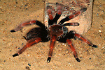 Tarantula Spider, Mexican Fire Legged,  Brachypelma boehmei, on desert floor.Mexico....