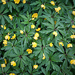 Yellow Woodland Anemone (Anemone ranunculoides), Garden in the Woods, Framingham, MA, USA