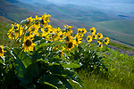Idaho, Lewiston. Spring sunflowers (arrow-leaved balsamroot) growing high on a hillside overlooking the Lewiston Valley. Balsamorhiza sagittata.