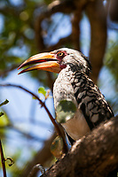 The Southern Yellow-billed Hornbill (Tockus leucomelas) is a hornbill found in southern Africa. Yellow-billed hornbills feed mainly on the ground, where they forage for seeds, small insects, spiders and scorpions. This hornbill species is a common and widespread resident of dry thornveldt and broad-leafed woodlands. They can often be seen along roads and water courses.