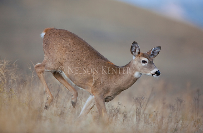 Running whitetail doe in Montana