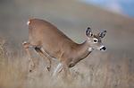 Running whitetail doe in Montana