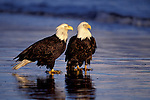 A pair of bald eagles stand on the shoreline at Homer, Alaska.