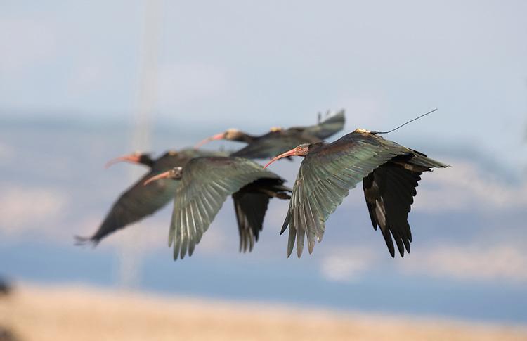 Northern Bald Ibis - Geronticus eremita