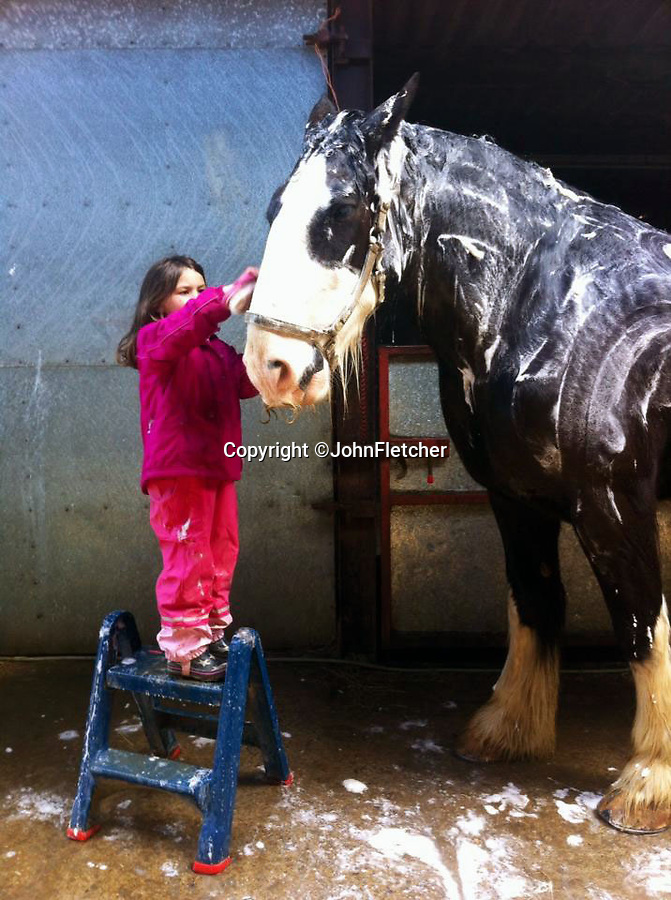 """BNPS.co.uk (01202 558833)<br /> Pic: JohnFletcher/BNPS<br /> <br /> Maia Fletcher(6) washing down Ned.<br /> <br /> Little & large - While most children her age are glued to computer screens or playing on mobile phones, horse-mad Maia Fletcher prefers a more ancient form of entertainment.<br /> <br /> The eight-year-old spends any time she can after school and on weekends helping her grandfather John Fletcher with his five giant Shire horses.<br /> <br /> The pint-sized groomsman is not intimidated by the daunting size of the 18 hands high, one tonne beasts and first rode one when she just three years old.<br /> <br /> Despite having her own """"normal"""" sized pony at home, Maia is far more interested in the mammoth Shires.<br /> <br /> The horse-loving youngster, who is just 4ft 6in tall, has been helping her grandfather out ever since - although she has to stand on a step-ladder to help wash and groom them and needs a leg up if she wants to go for a ride."""