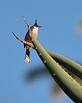 Red-whiskered Bulbul Southern California