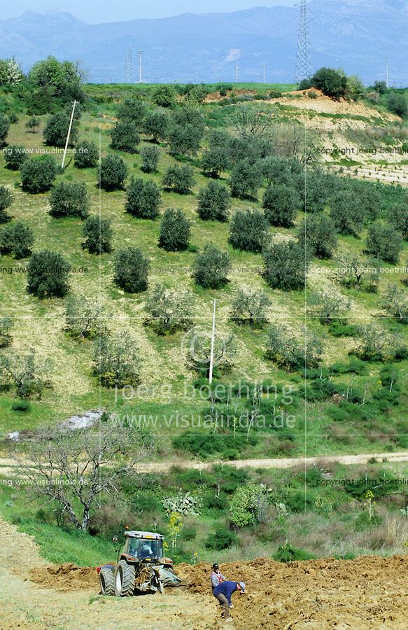 ITALY Calabria Rossano, harvest of liquorice plant Glycyrrhiza glabra which is used for licorice production of brands like Amarillo, HARIBO, Katjes, in the back olive trees / ITALIEN Kalabrien, Rossano, Ernte von Suessholzwurzel lat. Glycyrrhiza glabra, Nutzung als Heilpflanze und Rohstoff für die Lakritz Herstellung, Bestandteil von Amarelli Katjes Haribo und anderen Lakritzsorten, Hintergrund Berge mit Olivenbaum