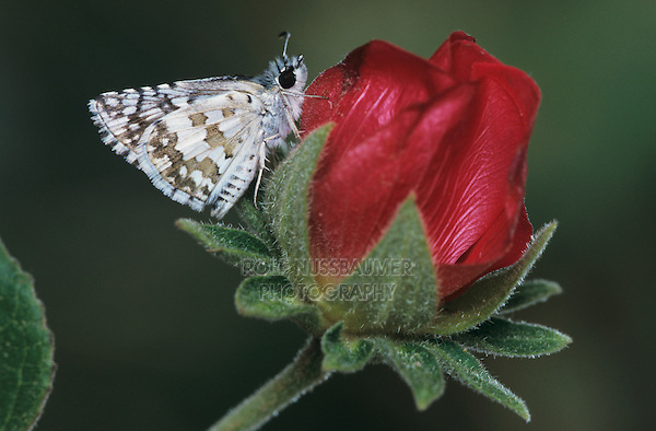 White Checkered Skipper, Pyrgus albescens , adult on Tulipan del Monte (Hibiscus cardiophyllus) , Starr County, Rio Grande Valley, Texas, USA