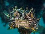 Striped Burrfish, Chilomycterus schoepfi