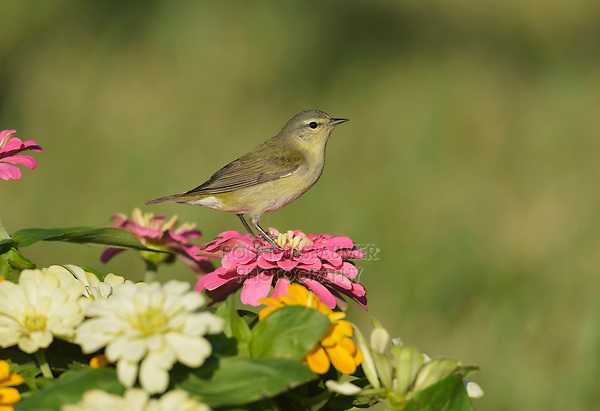 Tennessee Warbler (Vermivora peregrina), adult perched on Zinnia flowers, South Padre Island, Texas, USA