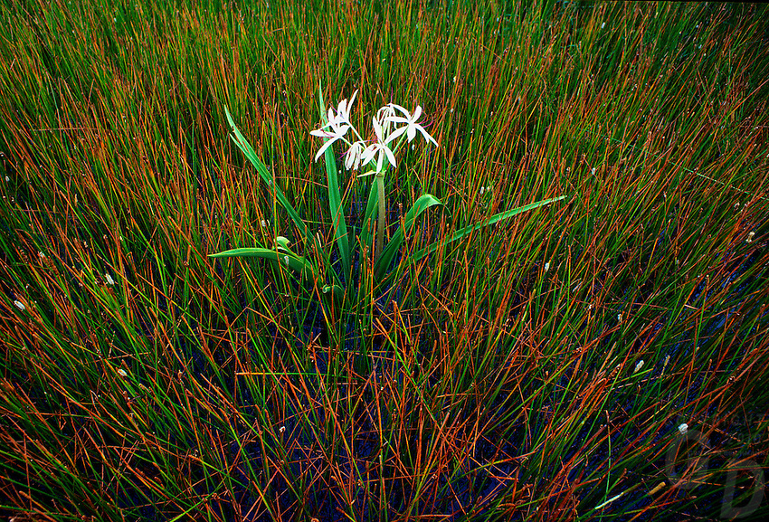 Swamp Grass and a lone water flower near Kakadu National Park, Northern Territory Australia