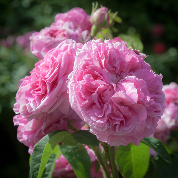 Rosa 'Baronne Prévost', mid June. A Hybrid Perpetual Rose with repeat-flowering, double flowers of deep, rose pink. An heirloom French rose bred by Desprez in 1842.
